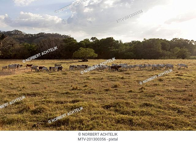 Cows grazing in field, Samara, Costa Rica