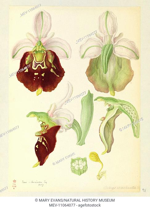 Ophrys holosericea, Late Spider Orchid flowers - Watercolour by Franz Bauer, 1807. Paper, watercolour. Botany Library. British Orchids 1798 - 1817, f