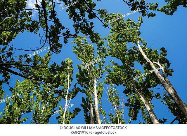 poplar trees on Saturna Island, Gulf Islands, British Columbia, Canada