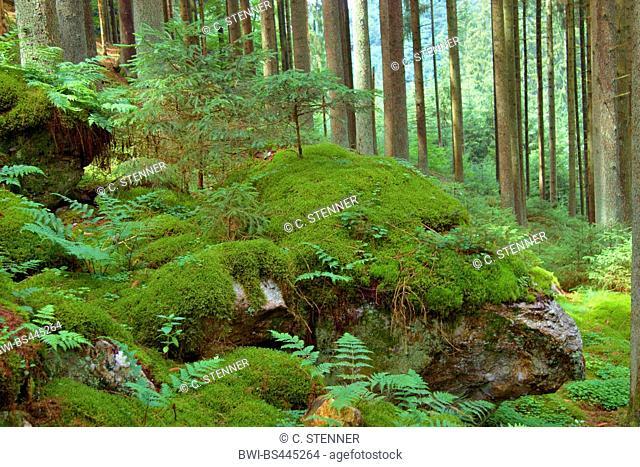 Norway spruce (Picea abies), rocks at hiker path Rockenburger Urwaldpfad, Germany, Rhineland-Palatinate, Hunsrueck