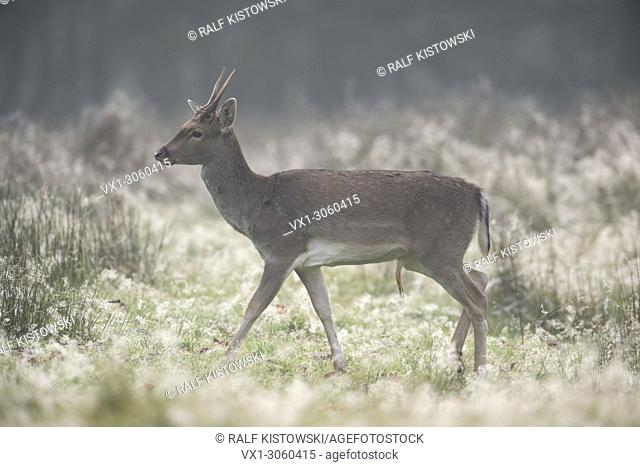 Fallow Deer ( Dama dama ) at crack of dawn on a dew covered natural meadow, Europe.