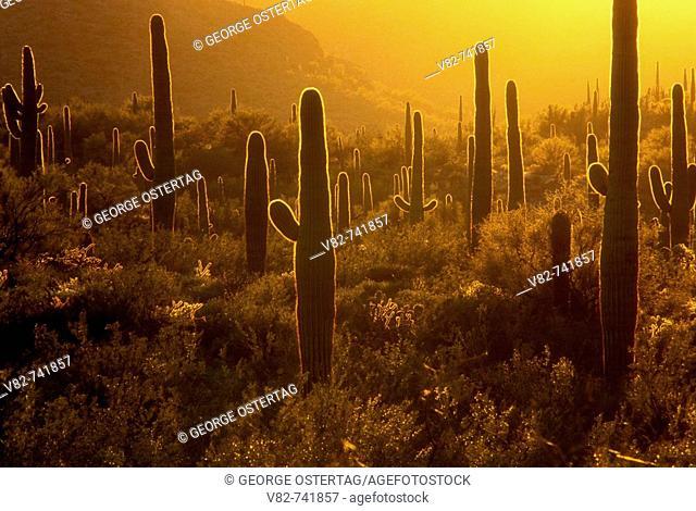 Backlit saguaro desert from Ajo Mountain Drive, Organ Pipe Cactus National Monument, Arizona, USA