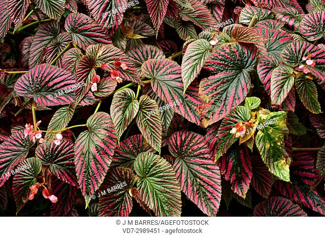 Begonia (Begonia brevirimosa) is an ornamental plant with very beautiful leaves