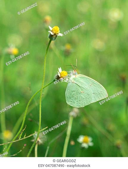 Common Grass Yellow butterfly (Eurema hecabe contubrenalis (Moore)) on a grass flower