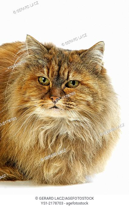 Tortoiseshell Persian Domestic Cat against White Background