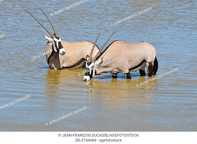 Gemsboks (Oryx gazella), drinking at a waterhole, Etosha National Park, Namibia, Africa
