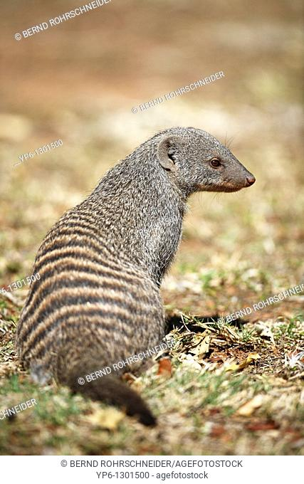 Banded Mongoose, Mungos mungo, sitting in savannah, Pilanesberg National Park, South Africa