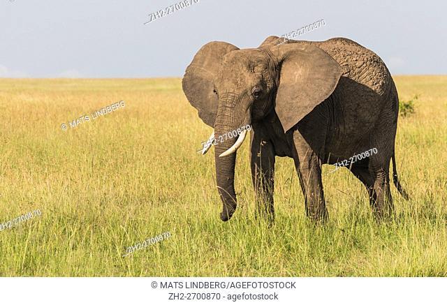 Big elephant on the savanna walking in grass and looking towards the camera, Masai Mara, Kenya, Africa