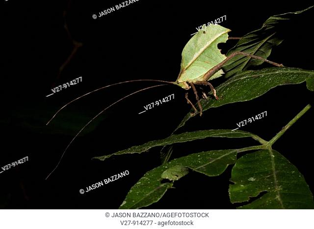 A well-camouflaged katydid, order Orthoptera, family Tettigoniidae  Photographed in the mountains of Costa Rica