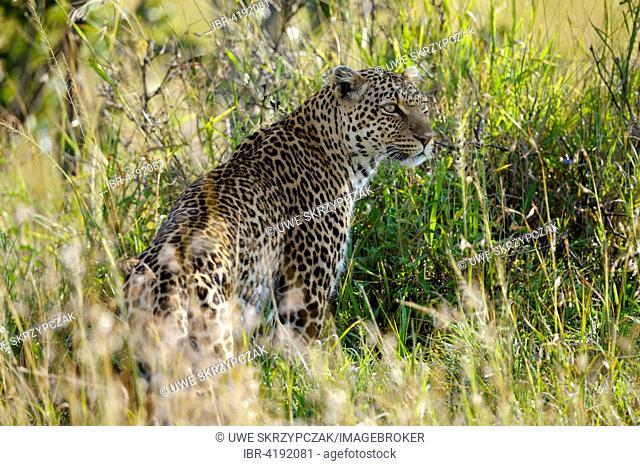 Leopard (Panthera pardus) in the warm evening light, Maasai Mara National Reserve, Narok County, Kenya