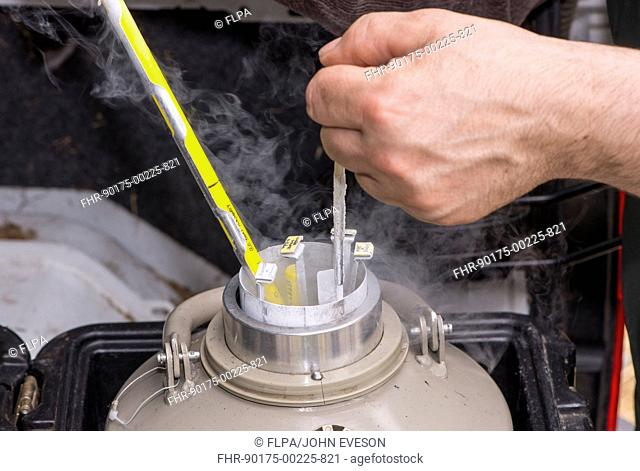 Cattle farming, removing straws of embryos from flask containing liquid nitrogen for embryo transfer into recipient cows, England, April