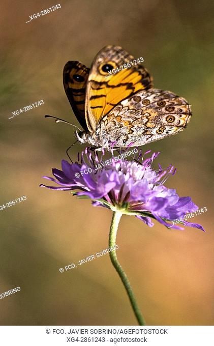 Mariposa Saltacercas (Lasiommata Megera) en el mes de junio en el Parque Natural del Desierto de Las Palmas. Benicàssim. Plana Alta. Castellón