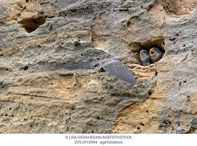 Sand martins-Riparia riparia at nest site. Uk