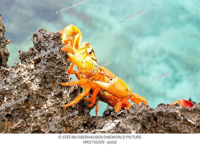 Cuba, Cienfuegos, Cienaga de Zapata, crab migration in Giron, Playa Larga, pig bay