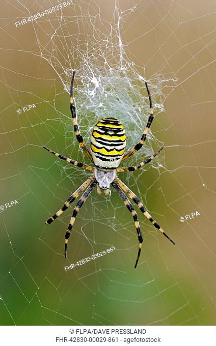 Black-and-yellow Orb-web Spider (Argiope bruennichi) adult female, in centre of web, Rainham Marshes RSPB Reserve, Thames Estuary, Essex, England, September