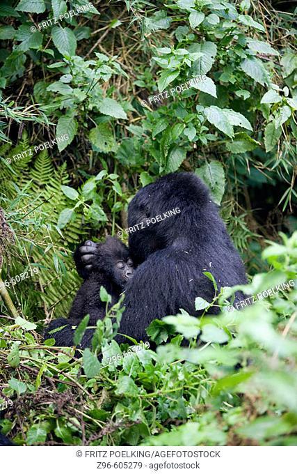 Mountain Gorilla (Gorilla gorilla berengei). Volcano National Park. Rwanda