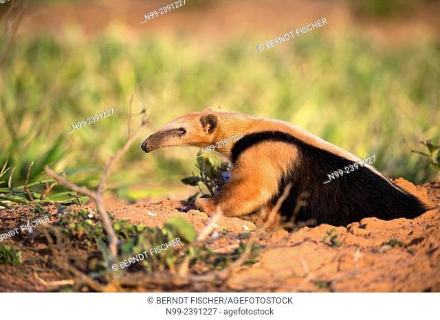 Collared anteater (Tamandua tetradactyla), coming out of the den of an armadillo, Mato Grosso do Sul, Brazil