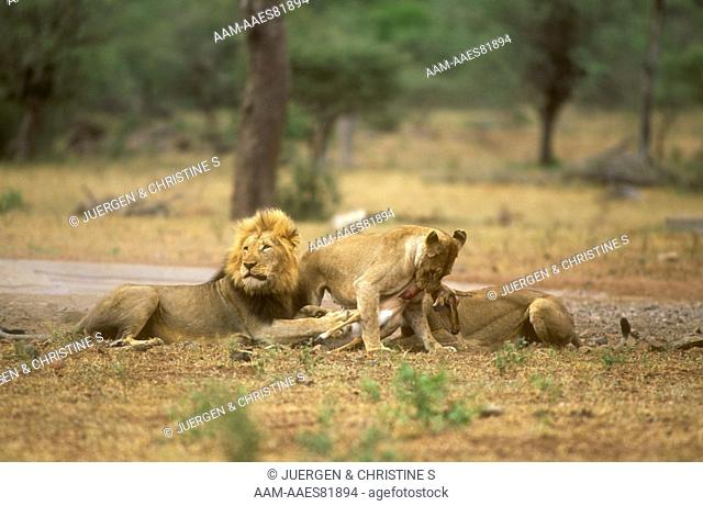 African Lions at Kill (Panthera leo), Kruger NP, South Africa