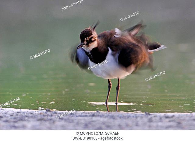 northern lapwing (Vanellus vanellus), bathing, Germany
