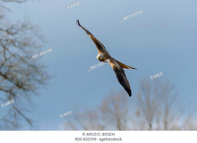 Red Kite, Lower Saxony, Germany / (Milvus milvus)