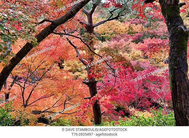 A riot of fall colors at Tofuku-ji Temple, Kyoto, Japan