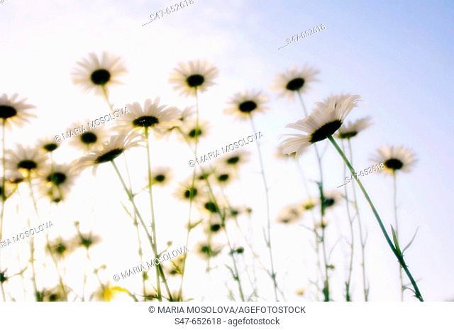 Shasta Daisy Flowers. Leucanthemum x superbum. May 2005, Maryland, USA