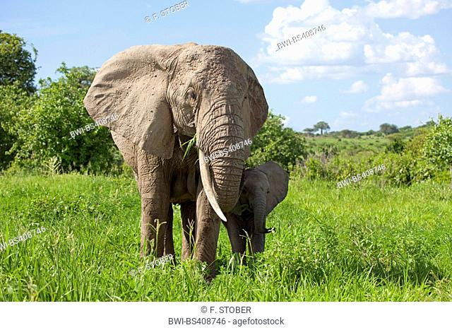 African elephant (Loxodonta africana), cow elephant with calf on grass, Kenya