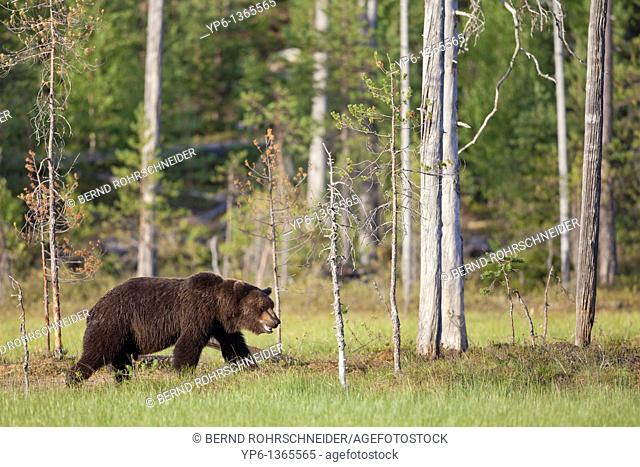 Brown Bear Ursus arctos at edge of the forest, Finland