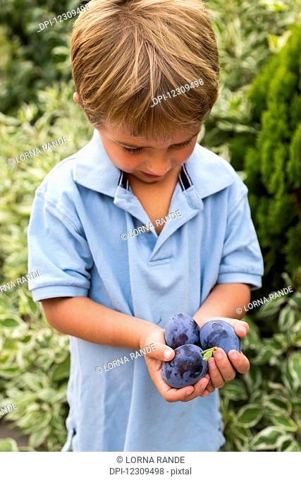 A young boy holds 3 ripe plums in his hands; Salmon Arm, British Columbia, Canada