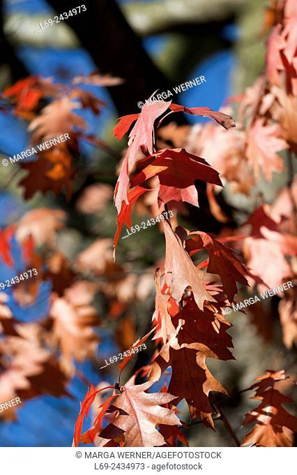 Red oak, Quercus rubra, autumn foliage, North Germany, Europe