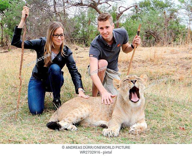 Zimbabwe, Matabeleland North, Hwange, Victoria Falls, couples stroking a lioness during the walking safari