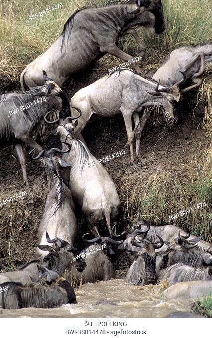 blue wildebeest, brindled gnu, white-bearded wildebeest (Connochaetes taurinus), leaving river, Kenya, Masai Mara National Park
