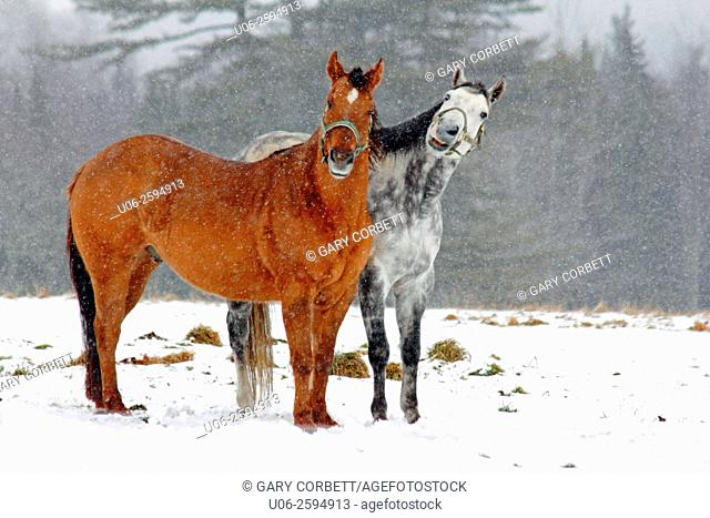 Two horses interacting together in a snow storm on a field