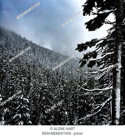 Snowy tree over remote hillside forest