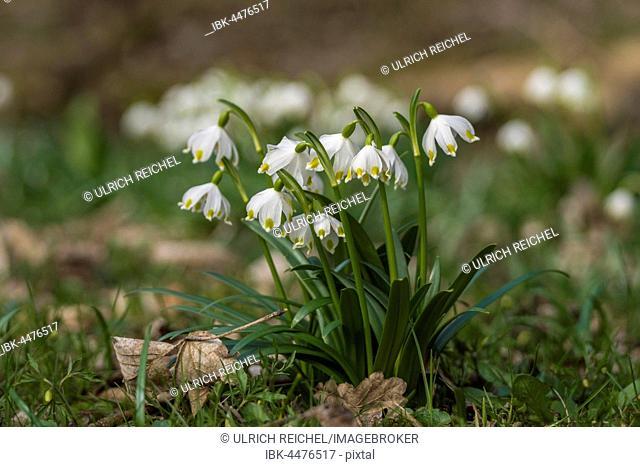 Blooming spring snowflake (Leucojum vernum), Thuringia, Germany