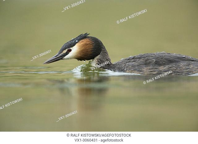 Great Crested Grebe ( Podiceps cristatus ) swims in a hurry to protect its territory / searching for its mate, wildlife, Europe