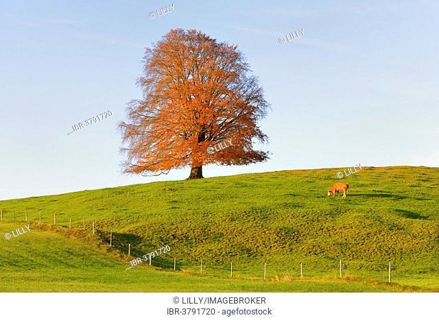 European Beech (Fagus sylvatica) in autumn, Rieden am Forggensee, Ostallgaeu, Allgaeu, Swabia, Bavaria, Germany
