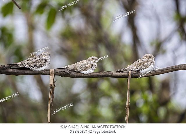 Adult sand-colored nighthawks, Chordeiles rupestris, Puerto Miguel, Upper Amazon River Basin, Loreto, Peru