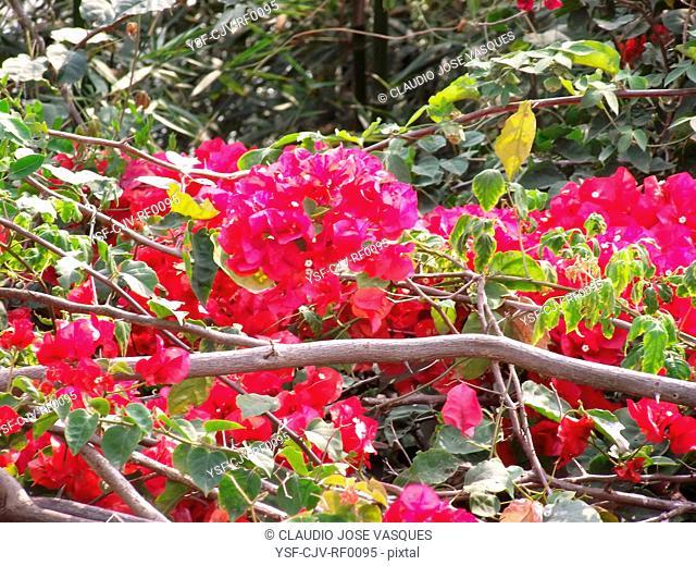 Spring, three-marys, ceboleiro, santa-rita, thorn-in-santa-rita, bunganvilla, lilac, rose, bougainvillea, Rio de Janeiro, Brazil