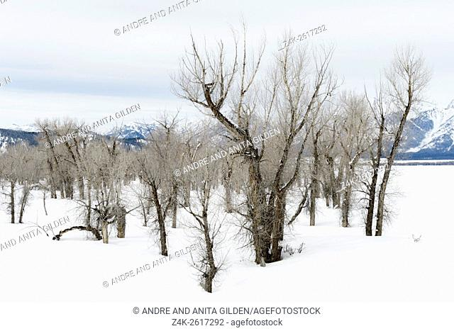 Stand of Cottonwood trees in snow on Gross Ventre Road Bridger, Teton National Forest, Wyoming, USA