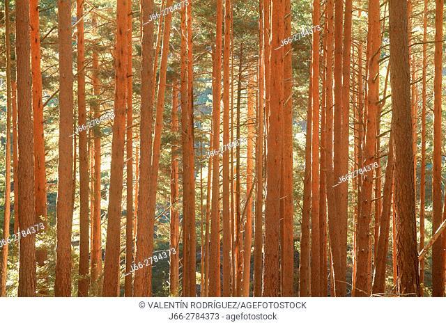 Pine forest ( Pinus sylvestris ) near the hermitage Virgen de Lomos de Orios. Natural park Sierra Cebollera. La Rioja