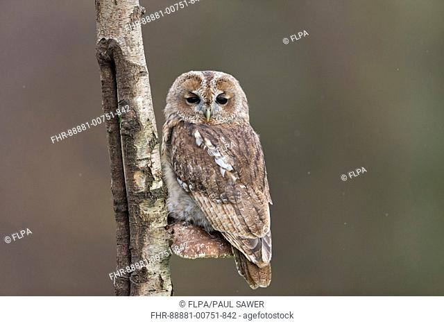 Tawny Owl (Strix aluco) adult, perched on Birch Polypore (Piptoporus betulinus), Suffolk, England, October, controlled subject