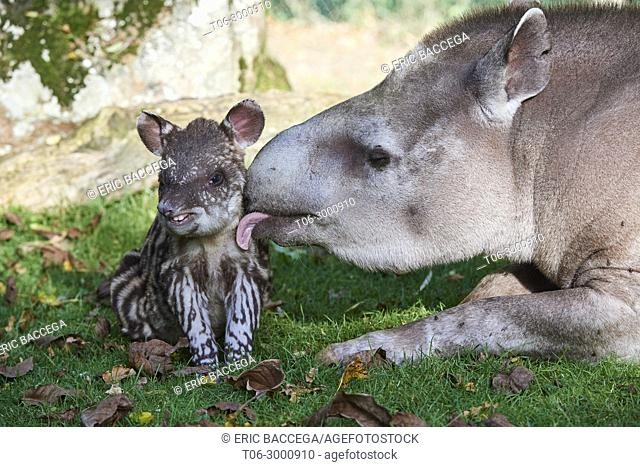 Brazilian tapir mother grooming baby - 2 weeks old - (Tapirus terrestris), captive, ZooParc Beauval, France