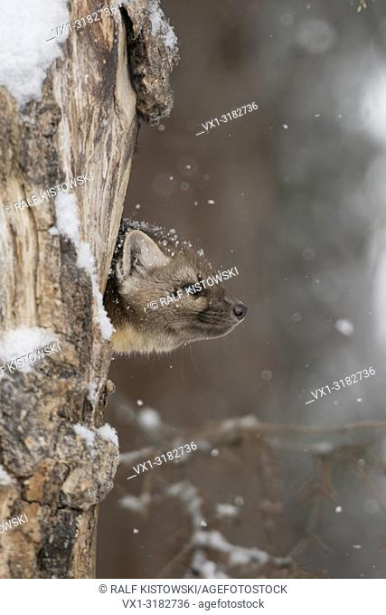 American Pine Marten ( Martes americana ) in winter, light snowfall, watching out of its dens in a rotten hollow tree, Yellowstone NP, USA.