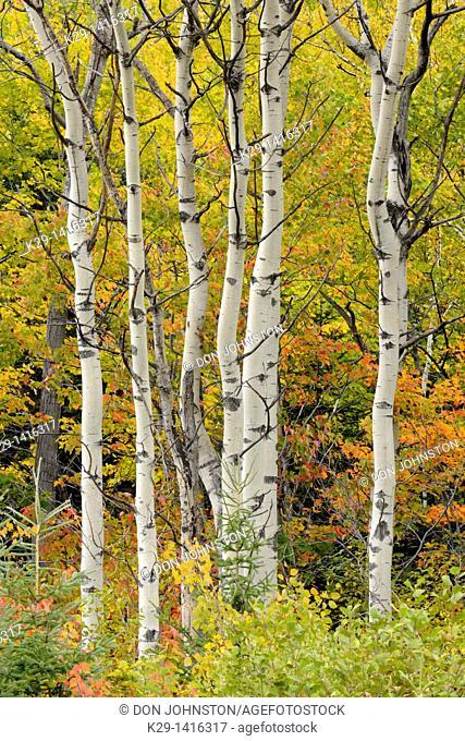 Aspen trees and early fall/autumn colour Sudbury Ontario