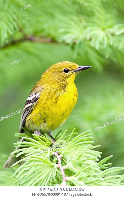 Pine Warbler Dendroica pinus adult, perched on tamarac, U S A
