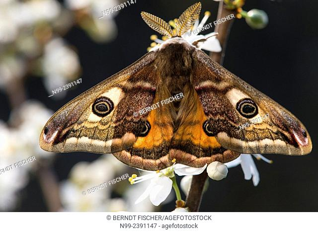 Emperor moth (Saturnia pavonia), male sitting on blackthorn, Bavaria, Germany