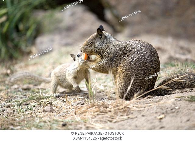 California Ground Squirrel (Spermophilus beecheyi) baby attempts to recover its food from an adult squirrel at Alameda's Crown Beach
