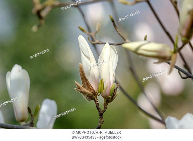 magnolia (Magnolia cylindrica), buds