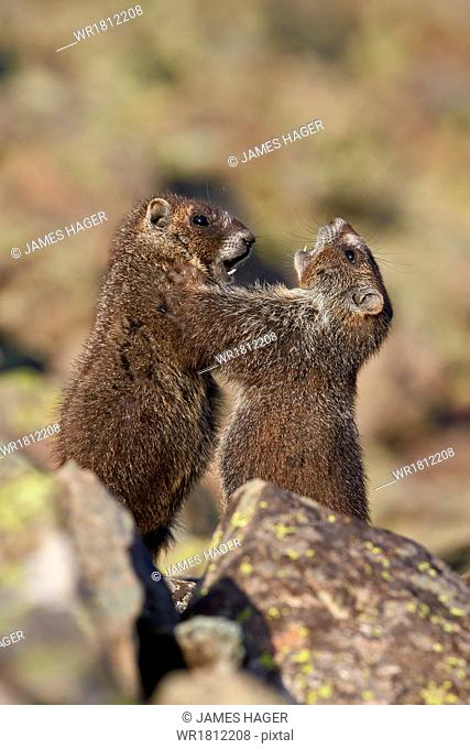Yellow-Bellied Marmot or Yellowbelly Marmot (Marmota flaviventris) pups playing, San Juan National Forest, Colorado, United States of America, North America
